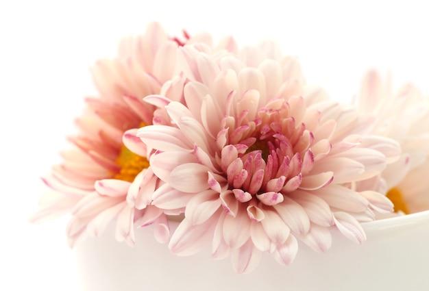 Chrysanthème sur fond blanc