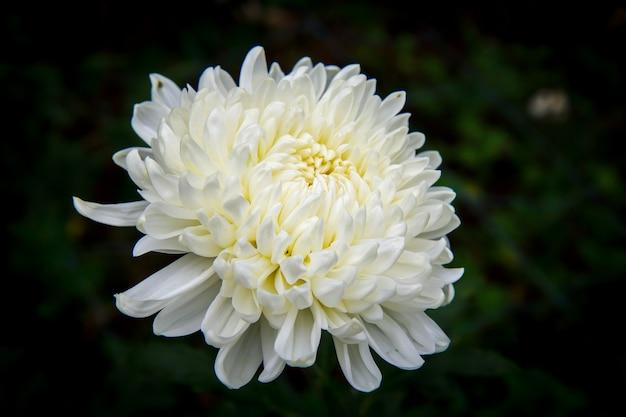 Chrysanthème sur fond noir