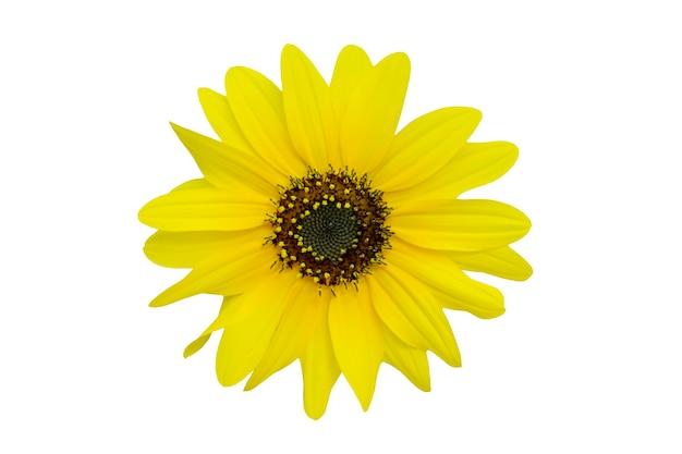 Chrysanthème jaune isolé sur blanc