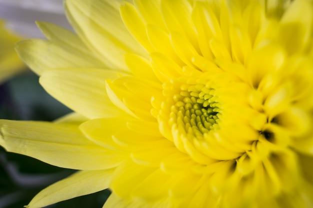 Chrysanthème jaune - prise de vue macro