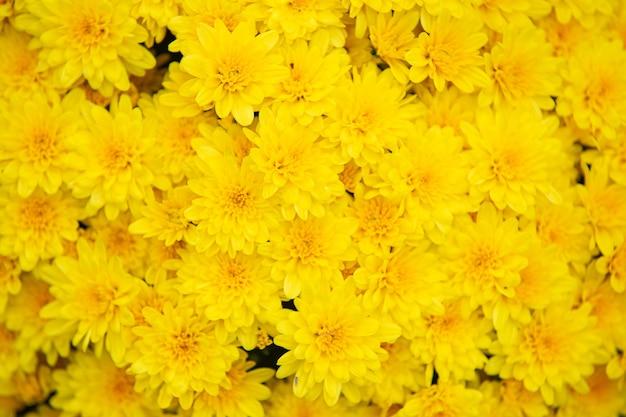 Chrysanthèmes d'automne qui fleurit sur les buissons dans le fond des plantes de jardin