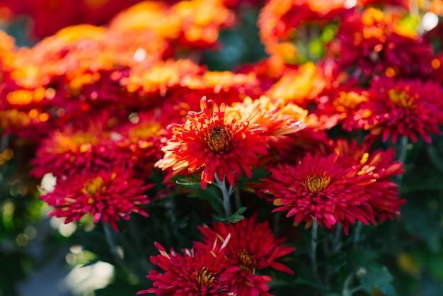 Chrysanthèmes d'automne rouge dans le jardin fleurissent