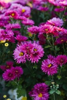 Chrysanthèmes d'automne violet dans la floraison du jardin, vue de dessus