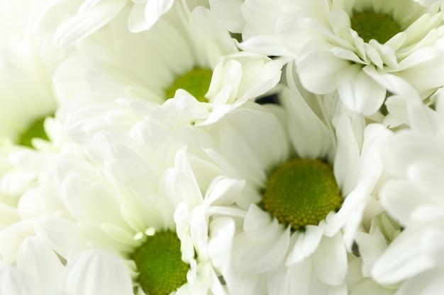 Chrysanthèmes blancs partout en arrière-plan, gros plan.