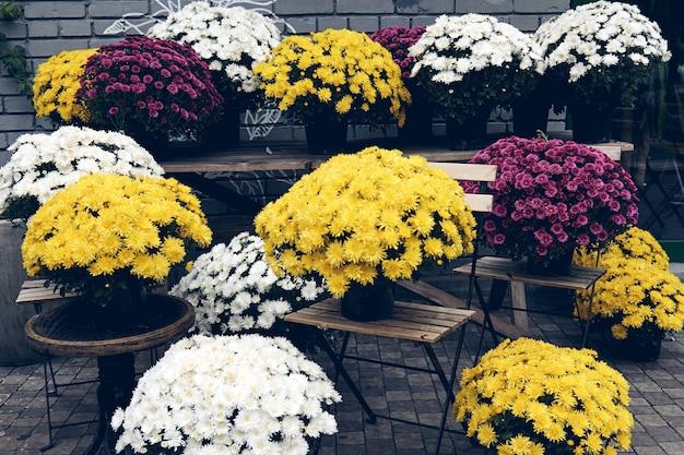 Des chrysanthèmes blancs, roses, rouges ou jaunes fleurissent dans un magasin de fleurs. buissons de chrysanthèmes bordeaux jardin ou parc extérieur. décorations d'automne.