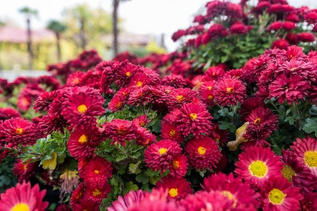 Chrysanthèmes dans le jardin botanique. fleurs de chrysanthème, chrysanthèmes en automne, chrysanthèmes annuels.