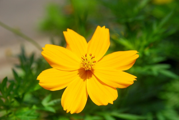 Chrysanthèmes fleurissent dans le jardin