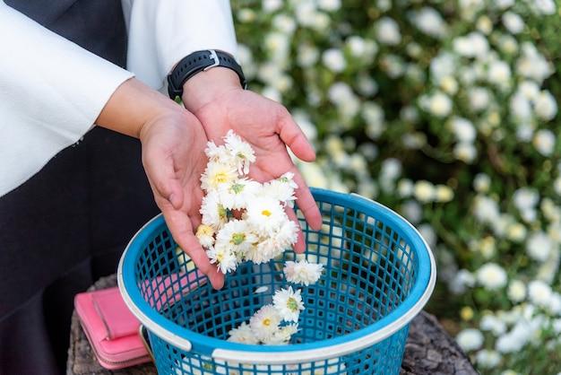 Chrysanthèmes de fleurs blanches sur la main de la fille
