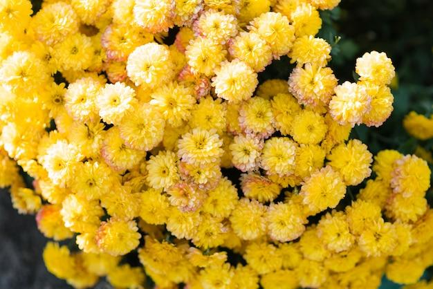 Chrysanthèmes en fleurs lumineuses dans un jardin fleuri en automne
