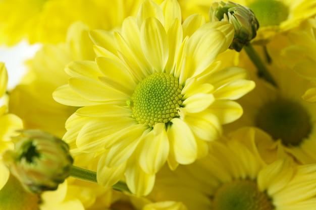 Chrysanthèmes jaunes partout en arrière-plan, gros plan.