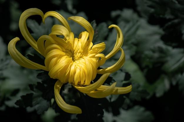 Les chrysanthèmes jaunes sont à l'état sauvage