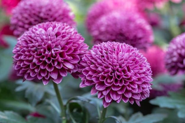 Chrysanthèmes à pompon dans un jardin
