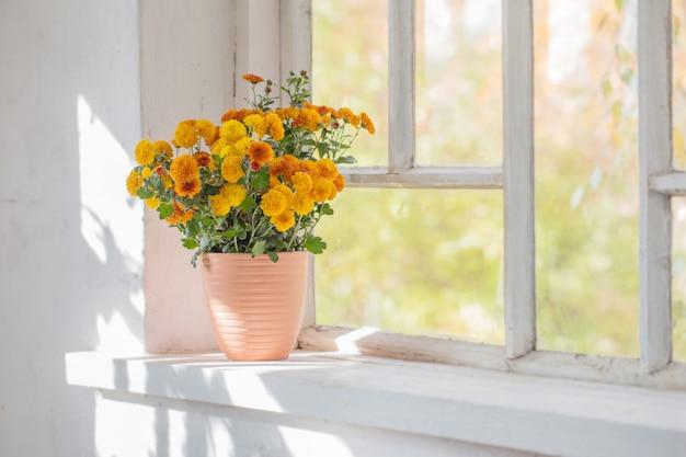 Chrysanthèmes en pots sur le vieux rebord de fenêtre blanc