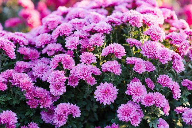 Chrysanthèmes pourpres roses fleurissent dans le jardin d'automne, floral