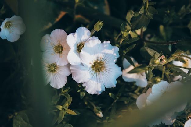 Les chrysanthèmes ressemblent certainement à des marguerites.
