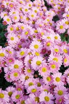 Chrysanthèmes roses doux.