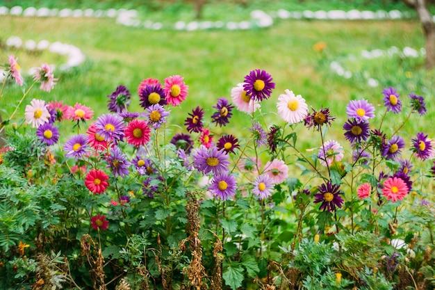 Chrysanthèmes roses et violets dans l'herbe verte dans un pré.