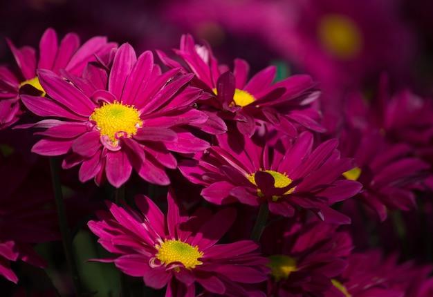 Chrysanthèmes rouges fleur de marguerite