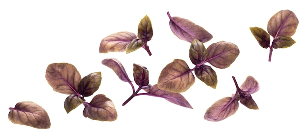 Chute de feuilles de basilic rouge isolé sur fond blanc