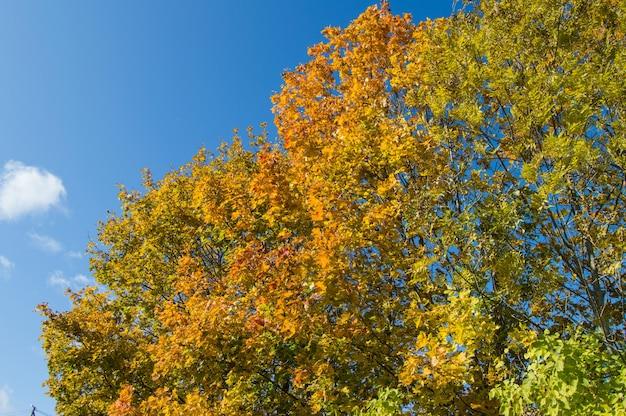 Chute des feuilles d'érable en automne, vue de bas en haut
