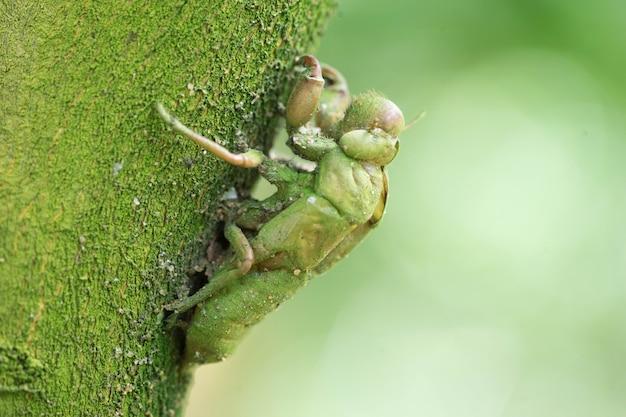 Cicada mue laissée sur l'arbre pendant longtemps pour avoir l'île verte de lichen.