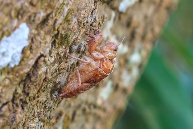 Cicada shell qui laisse sur l'arbre