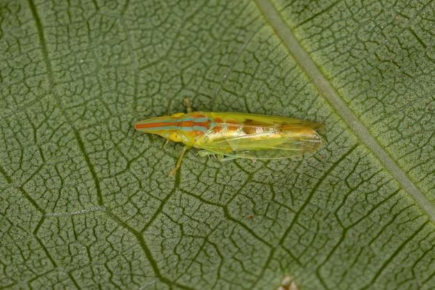 Cicadelle adulte typique du genre krocolidia