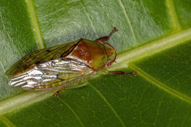 Cicadelle adulte typique de la tribu gyponini