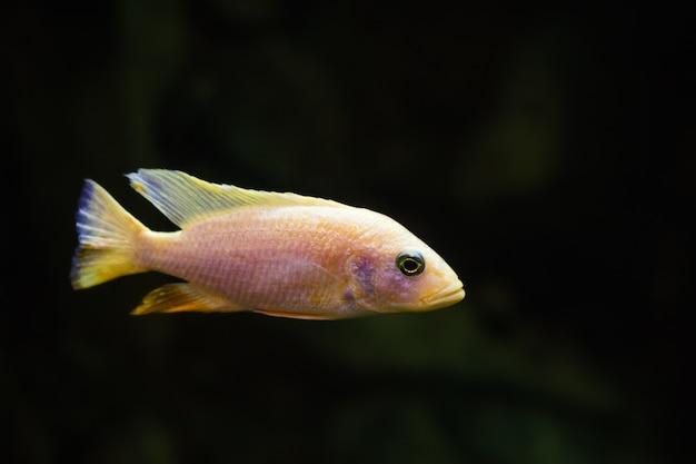 Cichlidé du malawi africain nage sous l'eau dans un aquarium
