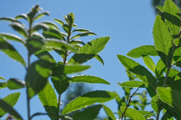 Ciel bleu clair et branches vertes de buisson, espace de copie de fond naturel