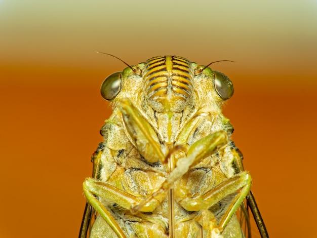 Cigale bug. cigale insecte.