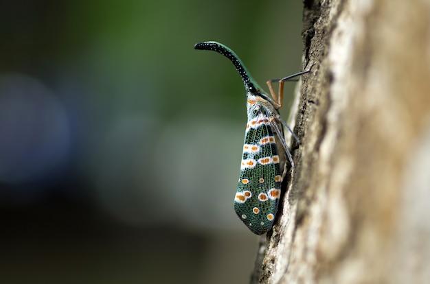 Cigale de coffre ou papillon de coffre