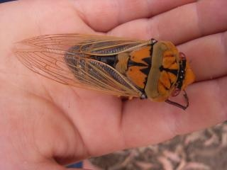 Cigale, insecte