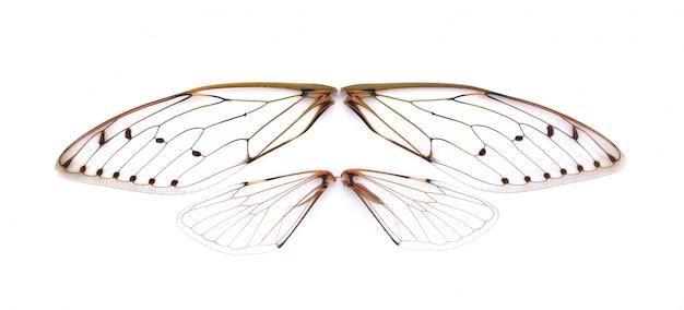 Cigale insecte