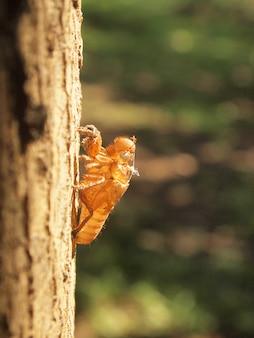 Cigale marbrée tenant sur un arbre