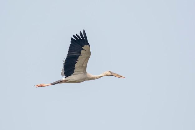Cigogne à bec ouvert asiatique (anastomus oscitans) volant dans le ciel. oiseau, animaux sauvages.