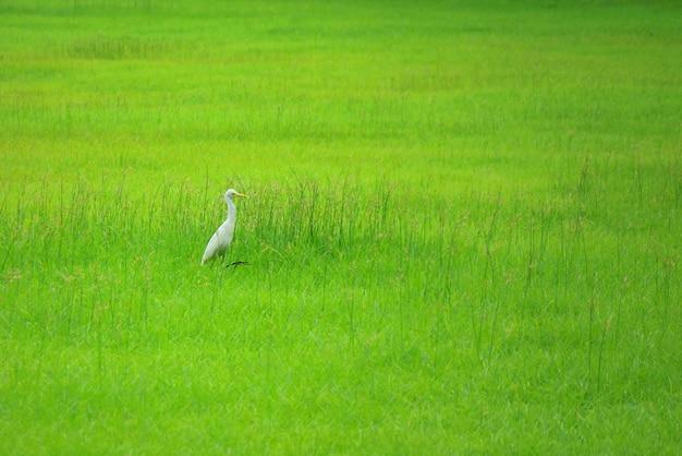 Cigogne blanche marchant sur un champ vert
