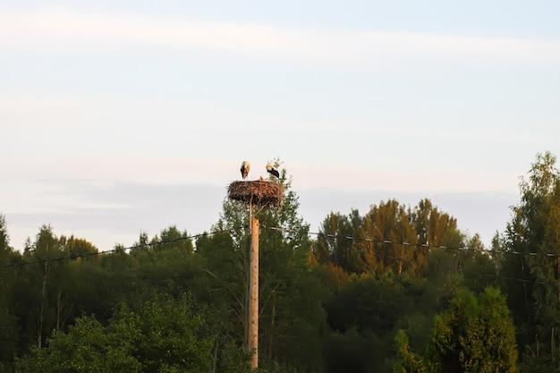Cigogne blanche nourrir les poussins sur le nid tordu sur poteau électrique dans la campagne