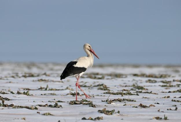 Une cigogne blanche parcourt le champ enneigé à la recherche de nourriture