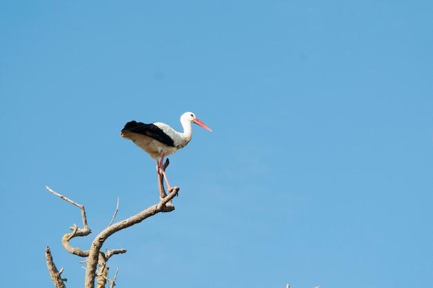 Cigogne blanche se percher sur un arbre