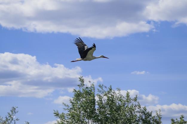 Cigogne blanche volant à travers le ciel bleu lors d'une journée ensoleillée pendant le vol de migration de printemps