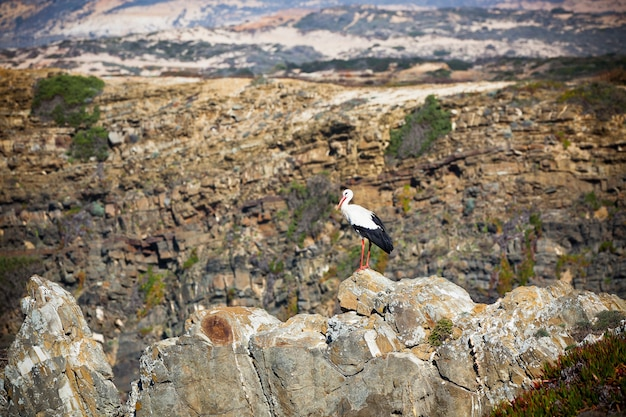 Cigogne sur une falaise sur la côte ouest du portugal. prise de vue horizontale