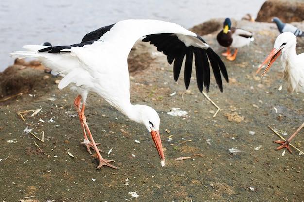 La cigogne mange du pain avec son bec et ses ailes battantes