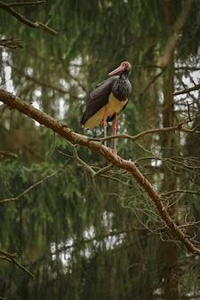 Cigogne Noire Dans L'obscurité De La Forêt Européenne Photo gratuit