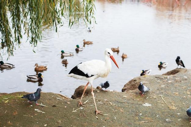Cigogne près du lac portrait d'une cigogne