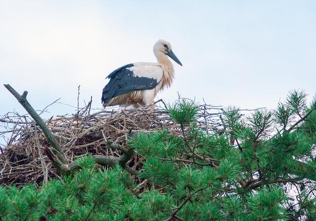 La cigogne se dresse dans son nid haut sur un pin avec de belles aiguilles vertes