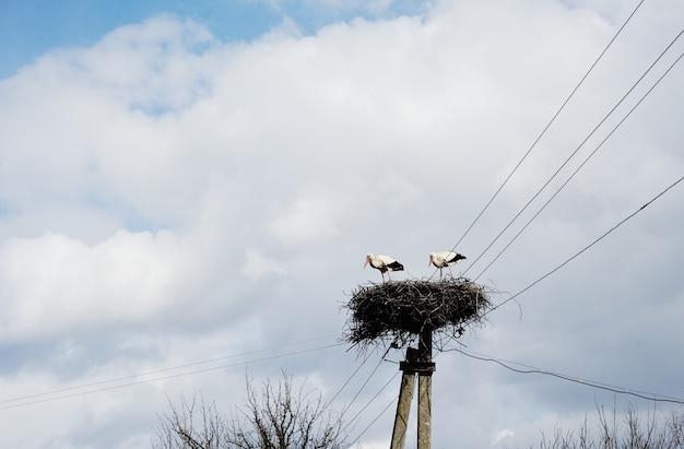 Cigognes au nid sur fond de ciel bleu