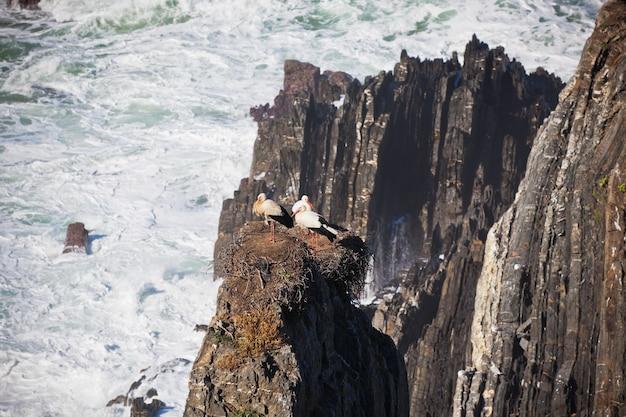 Cigognes sur une falaise sur la côte ouest du portugal. prise de vue horizontale