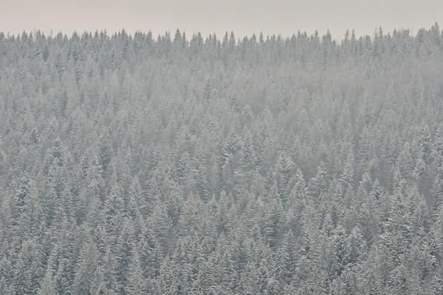 Cimes de sapins couvertes de neige, forêt de conifères épaisse