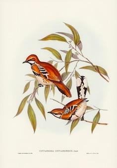 Cinclosoma (cinclosoma cinnamomeus) de couleur cannelle illustré par elizabeth gould